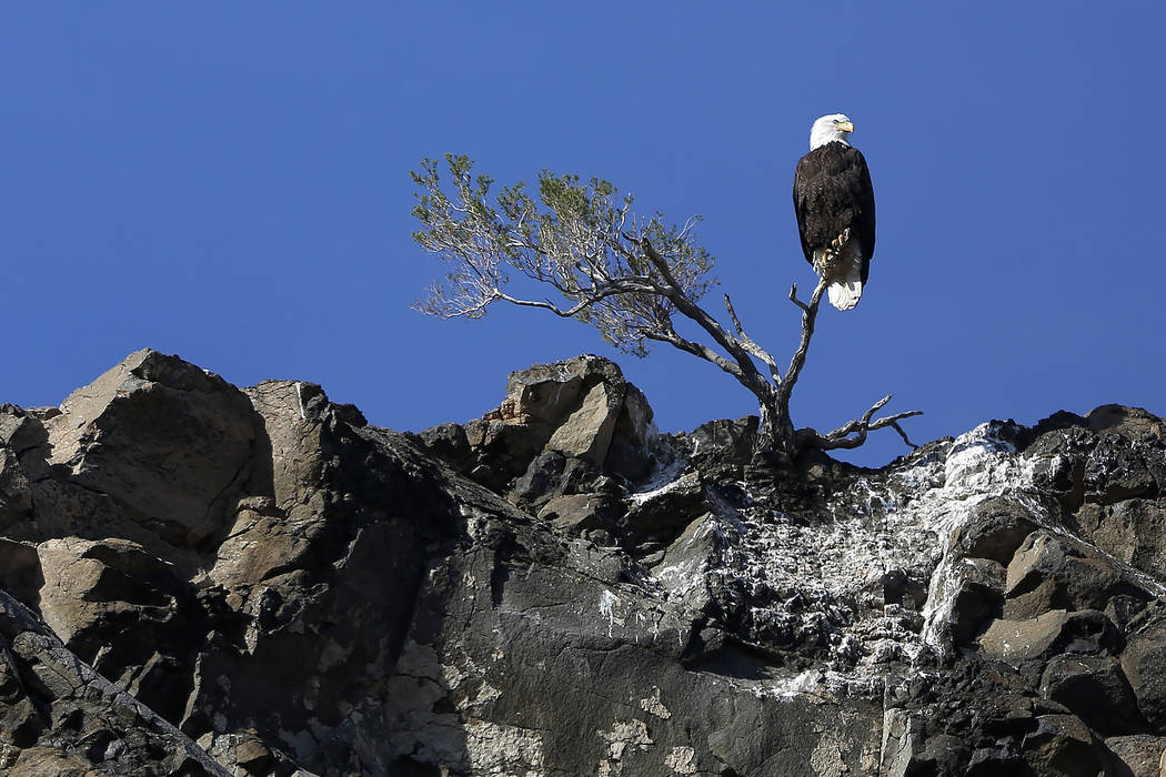 Andrea Cornejo/Las Vegas Review-Journal A bald eagle perches on a small tree in Lake Mead National Recreation Area on Jan. 17. Teams set out at dawn to survey the local bald eagle population as pa ...