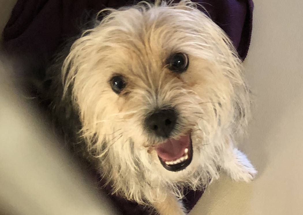 Boulder City Animal Shelter This 8-year-old Yorkie mix came to the shelter as an owner surrender. She is spayed, vaccinated, housebroken and a bossy little princess typical of her breed. For more  ...