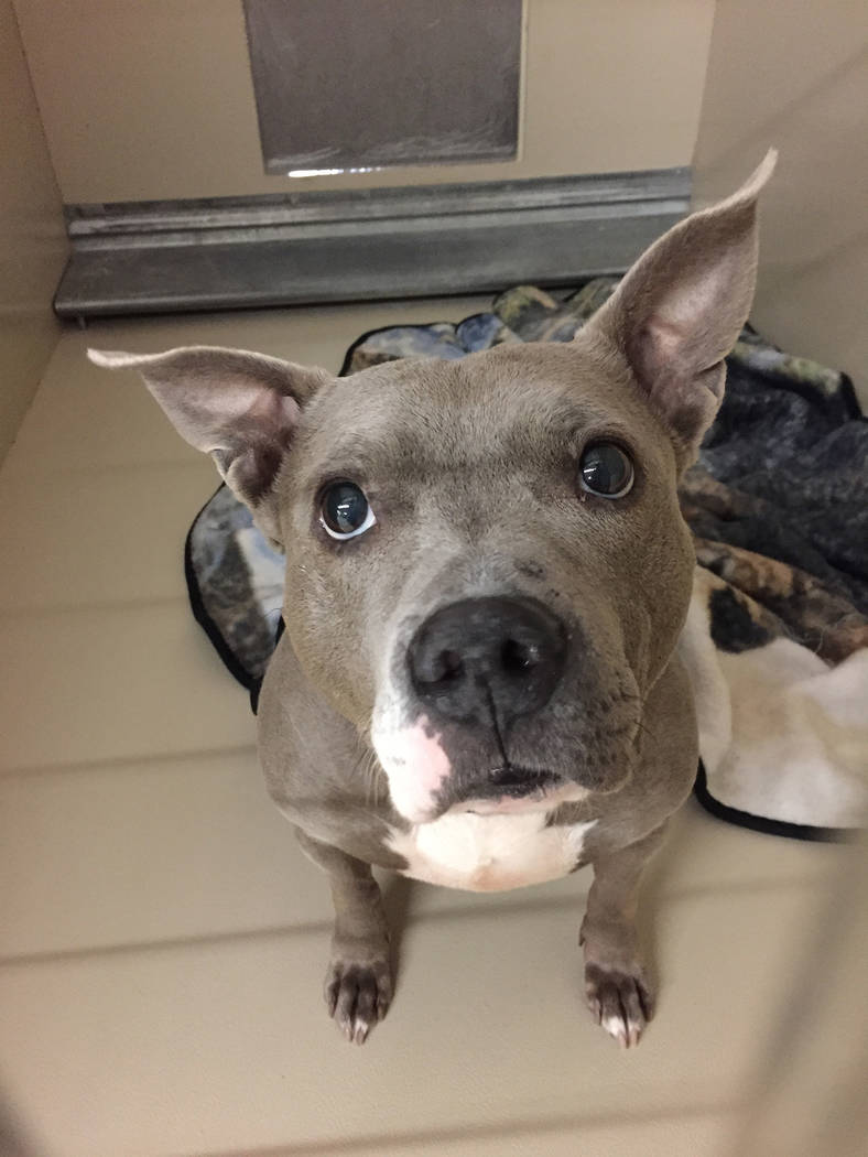 Boulder City Animal Shelter Betsy is an adult, spayed female pit bull in need of a forever home. She is housebroken, loves people and seems to get along well with most dogs and cats. For more info ...