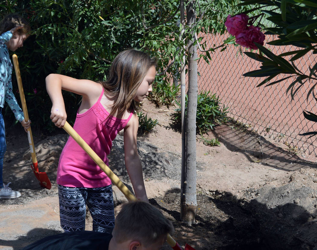 Celia Shortt Goodyear/Boulder City Review Second-grader Shasta Ryan-Willett helps plant a Chinese pistache tree for Arbor Day.