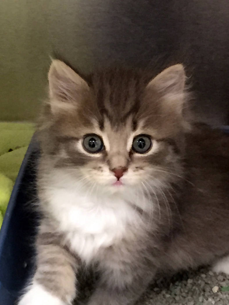Boulder City Animal Shelter Kitten season is in full swing at the Boulder City Animal Shelter. If you're interested in adopting a kitten, stop by the shelter and fill out an adoption Applic ...