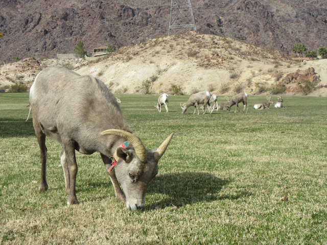 Henry Brean/Las Vegas Review-Journal A bighorn sheep wearing a collar from an earlier capture grazes in Boulder City's Hemenway Valley Park last year. Representatives from the Nevada Department of ...