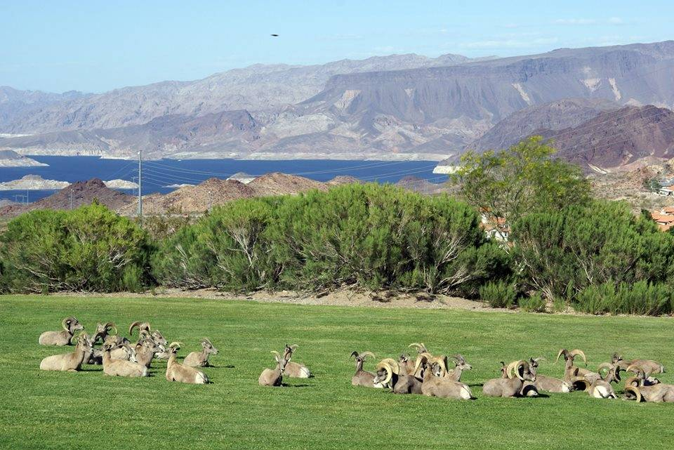 File Learn about the desert bighorn sheep that frequently visit Hemenway Valley Park during an outreach session with the Nevada Department of Wildlife from 1-3:30 p.m. today.