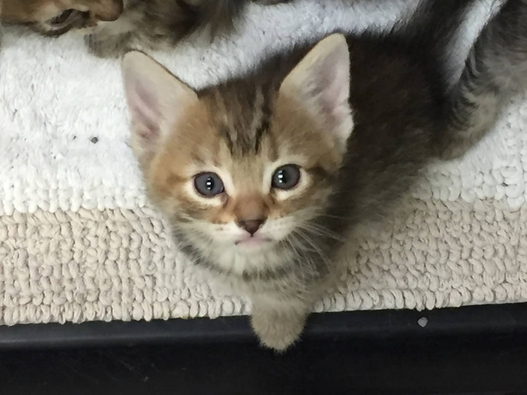 Boulder City Animal Shelter The Boulder City Animal Shelter has several litters of kittens in need of forever homes. Contact the shelter at 702-293-9283 for information about how to adopt one.