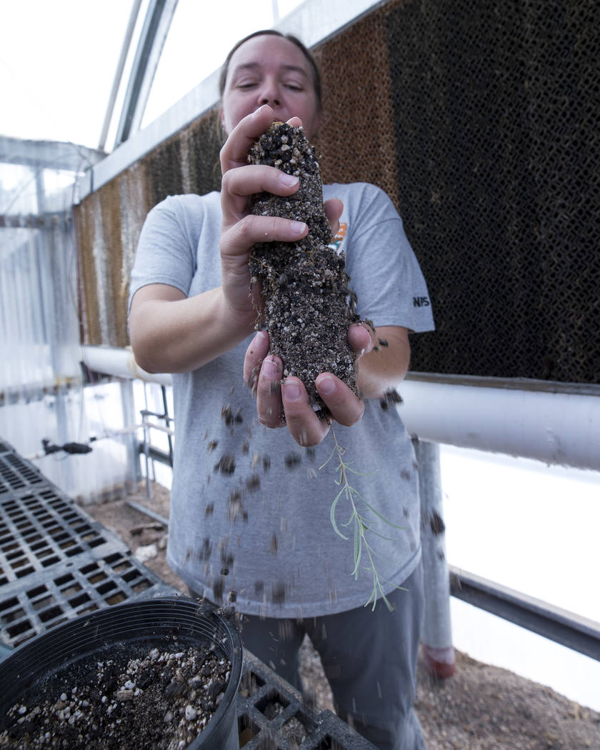 Richard Brian Las Vegas Review-Journal Biologist Kelly Wallace, manager of Song Dog Native Plant Nursery at Lake Mead National Recreation Area, transplants a four wing saltbush, Saturday as part o ...