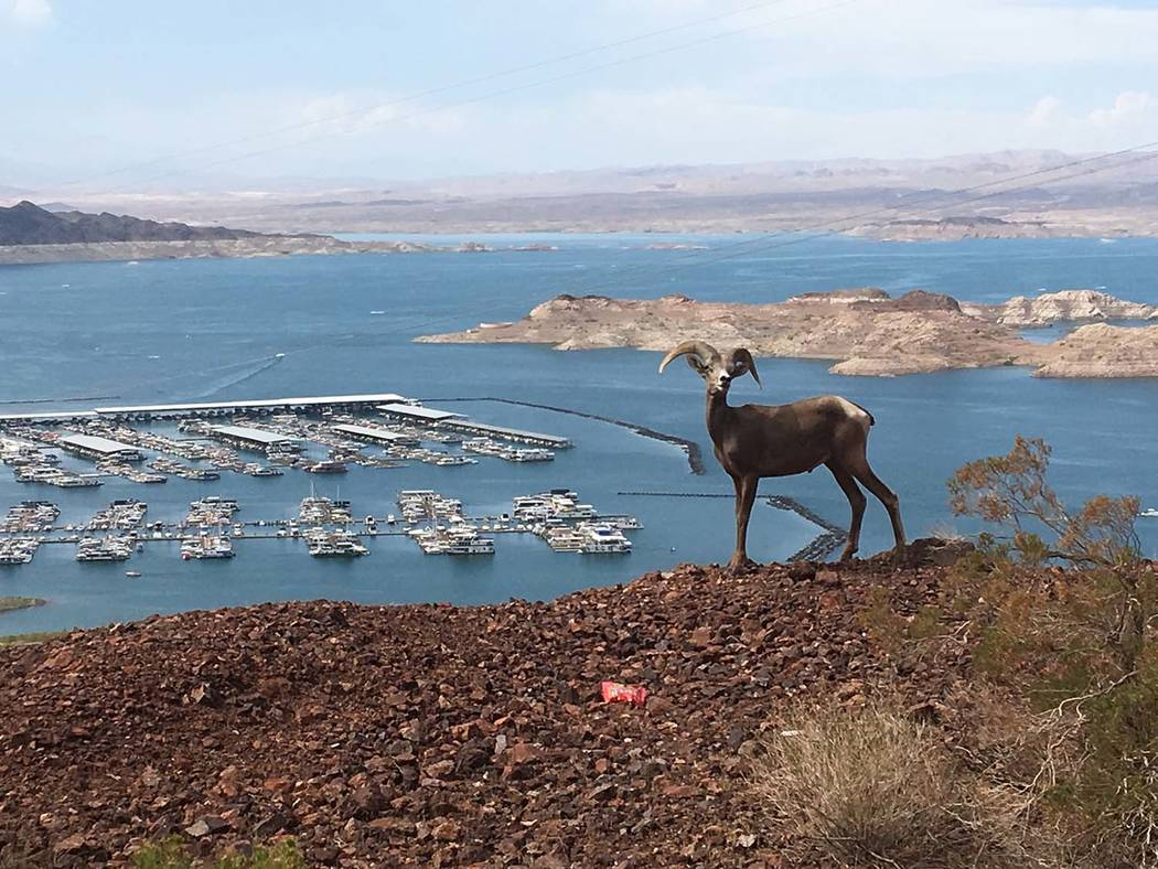 """Rob Hemmen While walking the Historic Railroad Trail on Saturday, July 29, Rob Hemmen and his family from Anchorage, Alaska, encountered a bighorn sheep and had a """"20-minute staring contest"""" befor ..."""