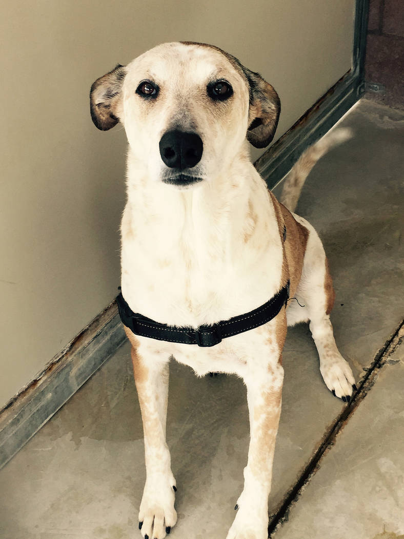 Boulder City Animal Shelter Lucy is a heeler-greyhound mix in need of a forever home. She is 3 years old, spayed, housebroken and her vaccines are current. Adoption fee for Lucy is $8. Call the Bo ...
