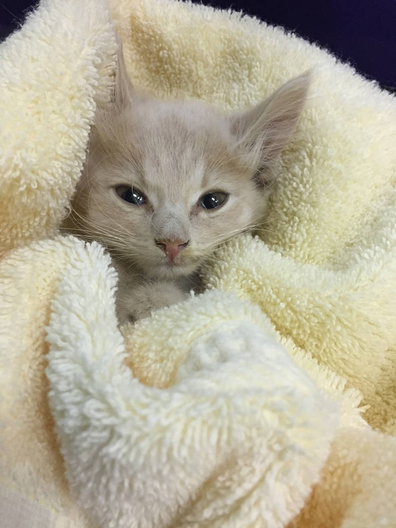 Boulder City Animal Shelter The Boulder City Animal Shelter currently has 20 kittens in need of forever homes. Visit the shelter at 810 Yucca St. and take a look at these beautiful little creature ...