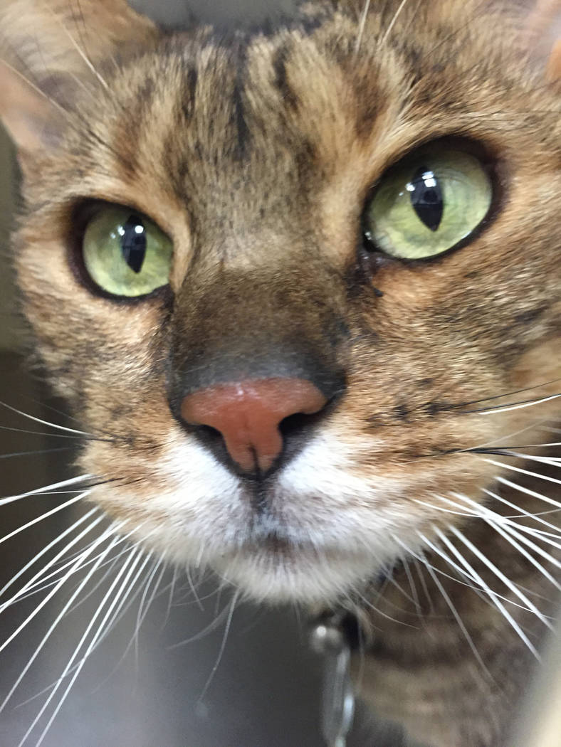 Boulder City Animal Shelter Sylvester is an adult Bengal mix who came to the shelter when his owner passed away. He is neutered, litter-box trained and well-mannered. For more information on Sylve ...