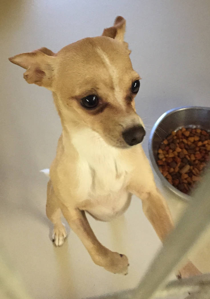 Boulder City Animal Shelter Prince is a small Chihuahua in need of a forever home. Prince in neutered, vaccinated and housebroken. He is affectionate and would love to spend his days sitting on a  ...
