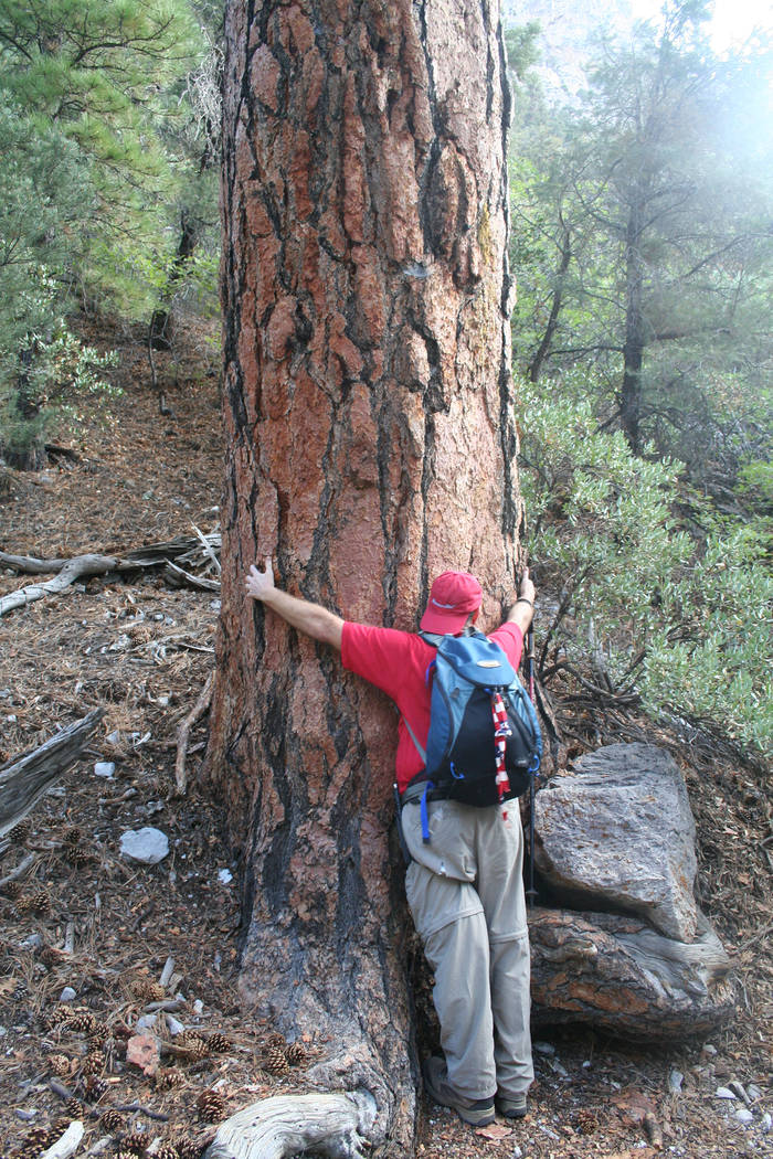 Deborah Wall A 6-foot-tall hiker hugs a large ponderosa pine along the Fletcher Canyon trail in the Spring Mountains National Recreation Area.