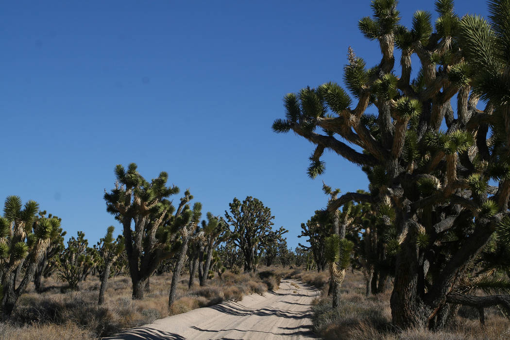 Deborah Wall  The world's largest concentration of Joshua trees grows in the Mojave National Preserve, California.