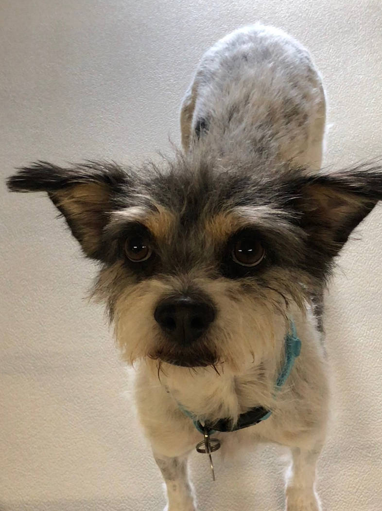 Boulder City Animal Shelter Nipton is a small terrier mix. He has been neutered and vaccinated. Nipton loves adults and children, but does not enjoy the company of cats. For more information, call ...