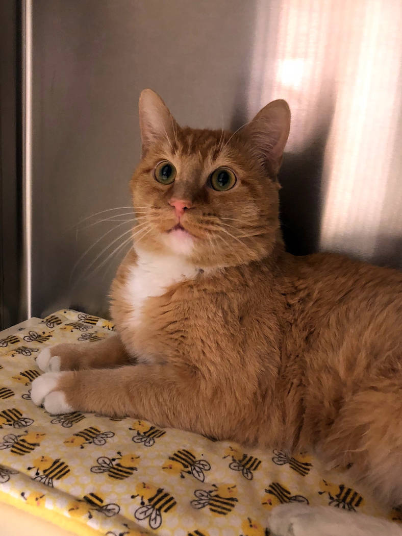 Boulder City Animal Shelter Seti is a 5-year-old sweetheart who came to the shelter when his owner passed away. Seti is neutered, vaccinated and has lived peacefully with other cats. For more info ...