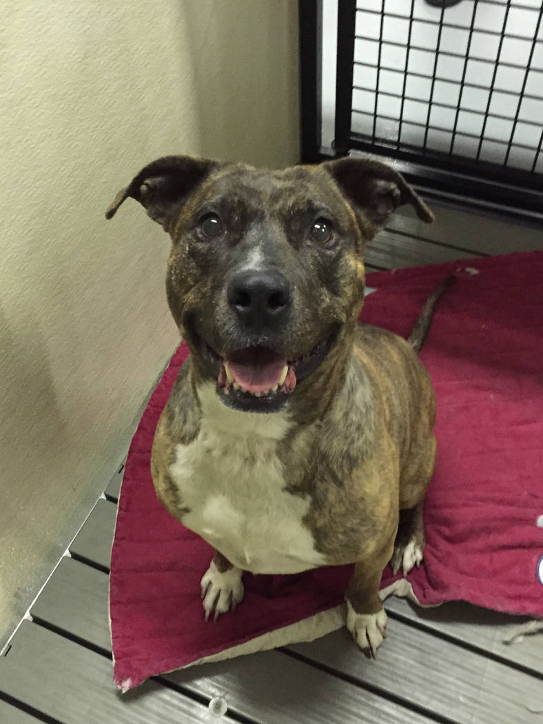 Boulder City Animal Shelter Tia is a 10-year-old female, spayed pit bull mix still in need of a forever home. She does not enjoy the company of other animals, but loves people. Tia has been at the ...