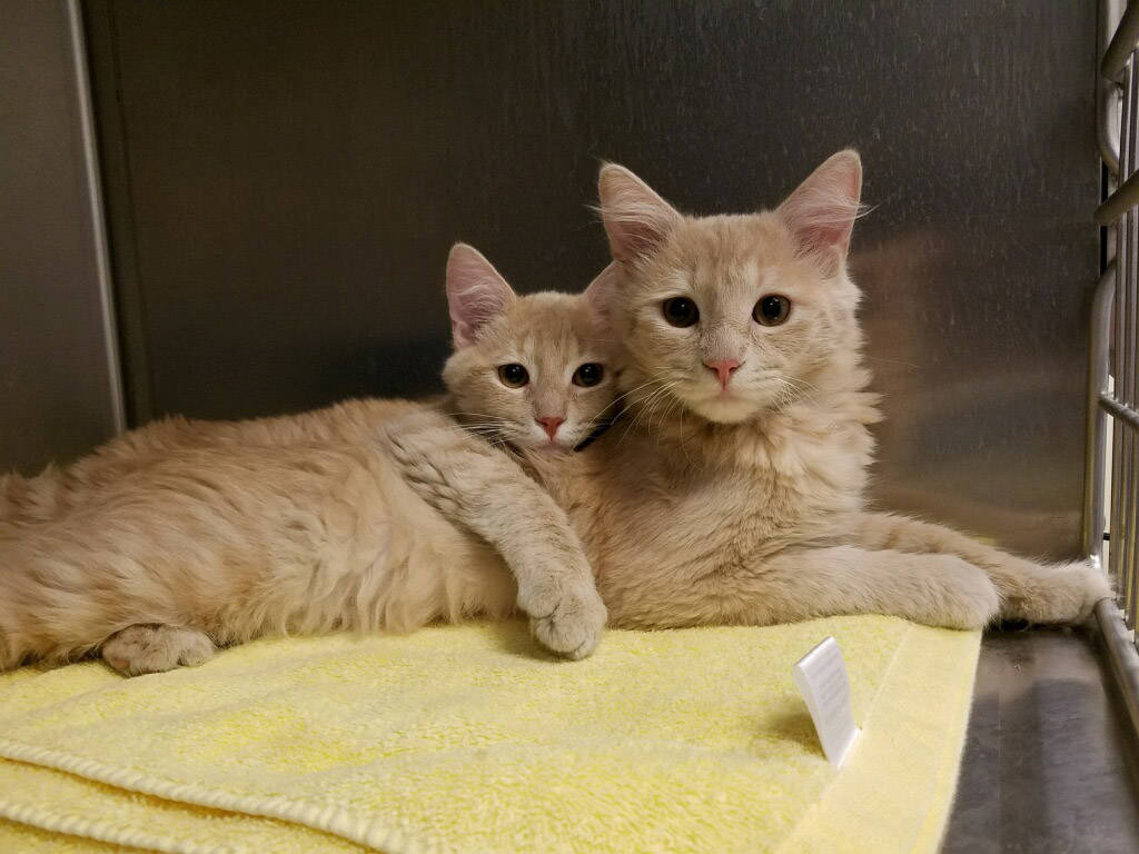Boulder City Animal Shelter These two adorable 4-month-old male kittens are in need of a forever home. Both have been neutered and vaccinated. For more information, call the Boulder City Animal Sh ...