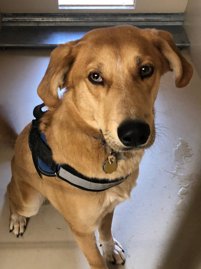 Boulder City Animal Shelter Ritter came to the shelter as an owner surrender when they decided they didn't have time for him. Ritter is a 1-year-old Labrador-husky mix. He is neutered, full ...