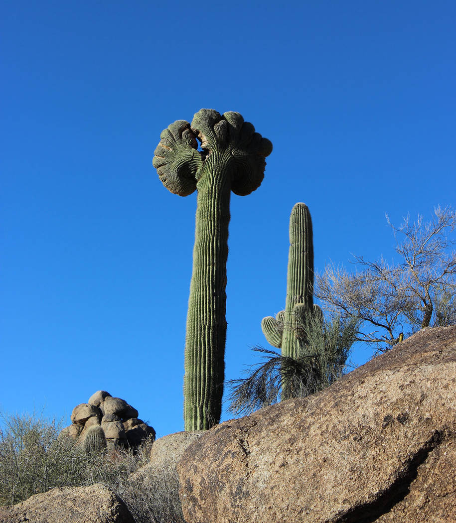 Deborah Wall If you are extremely fortunate you might see a cristate or crested saguaro, shown here. Very rare, only 25 have been found among the 1.5 million saguaros of Saguaro National Park. Thi ...