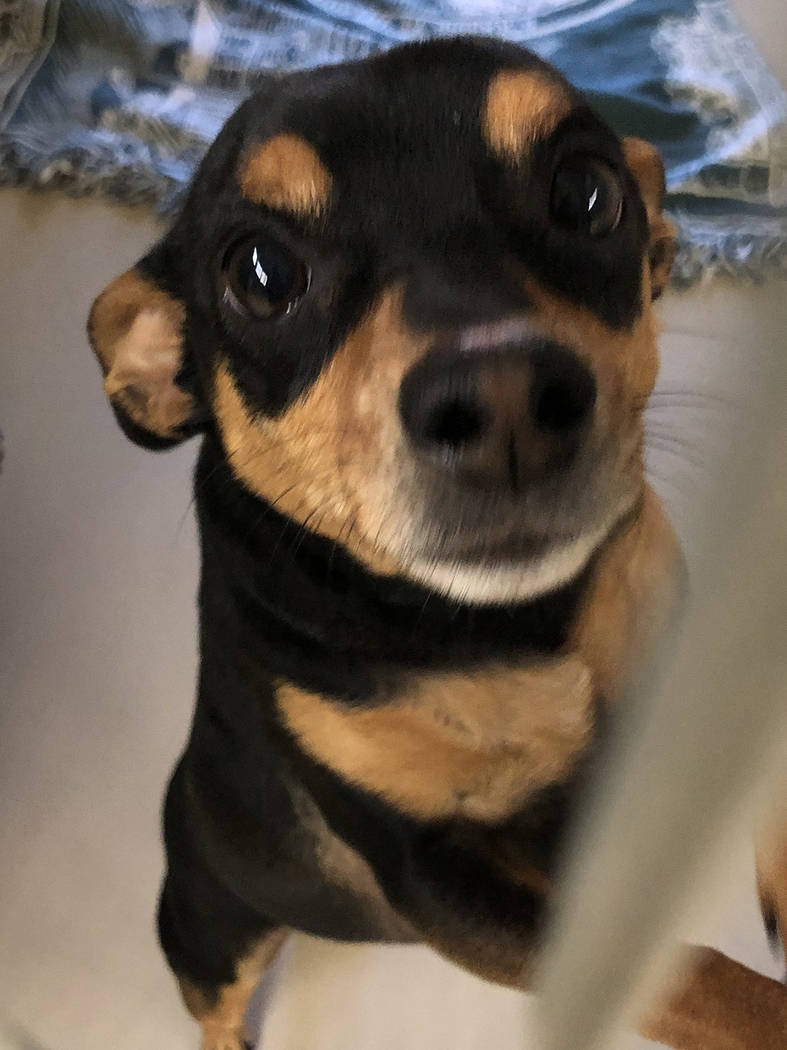 Boulder City Animal Shelter This little guy came to the shelter after his owner died. He is a neutered, 5-year-old, Miniature Pinscher. He is very friendly and house trained. For more information, ...