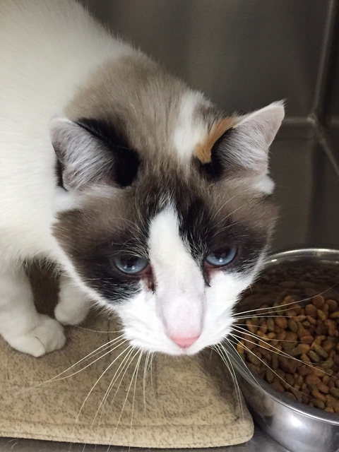 Miss Lisa was left at the shelter as a stray and is now ready for a loving home. Lisa is an adult Calico Siamese mix. For more information on this animal, please call the Boulder City Animal Shelt ...