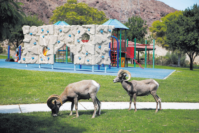 Bighorn sheep can usually be found in Hemenway Valley Park. File photo