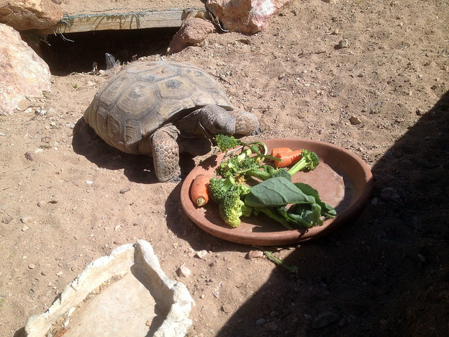 Photo courtesy Sara Carroll Daisy eats a breakfast of carrots and greens in her habitat at King Elementary School. The tortoise has been living at the elementary school since it opened in 1991.