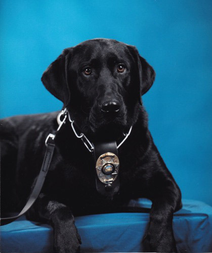 Courtesy photo Boulder City Police Department's only K-9 officer, Charlie, a black Labrador, retired Nov. 21 because of health issues. He was training in narcotics detection and been instrumental  ...