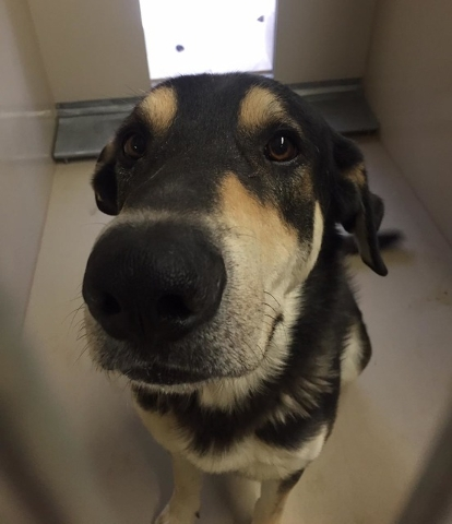 George is a 3-year-old German Shepherd mix who loves humans but does not enjoy the company of other dogs. He goes to his new home neutered, vaccinated and microchipped. For more information on thi ...