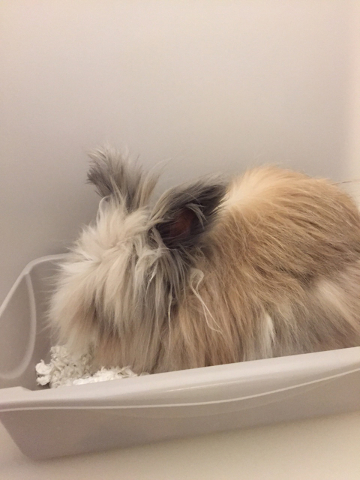 Photo courtesy Boulder City Animal Shelter Romeo is a 4-year-old Lionhead rabbit. He is neutered and litter box trained. For more information, call the Boulder City Animal Shelter at 702-293-9283.