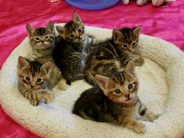 The Boulder City Animal Shelter has kittens. Come visit today and reserve the kitten of your choice. For more information, call 702-293-9283. Photo courtesy Boulder City Animal Shelter