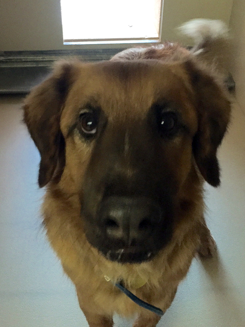 Photo courtesy Boulder City Animal Shelter Chubby Bear is a young adult golden retriever mix. He is friendly and needs a home with a yard or a human to take walks with. For more information on thi ...