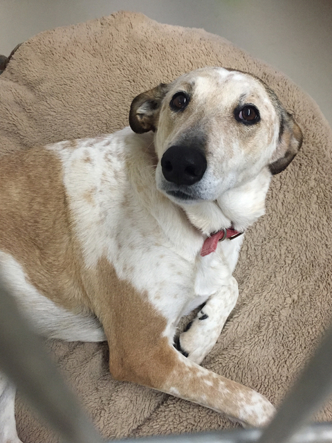 Photo courtesy Boulder City Animal Shelter Bessie Mae was brought to the shelter as a stray and was never claimed. She is housebroken, clean and very polite. She seems to love people and other ani ...