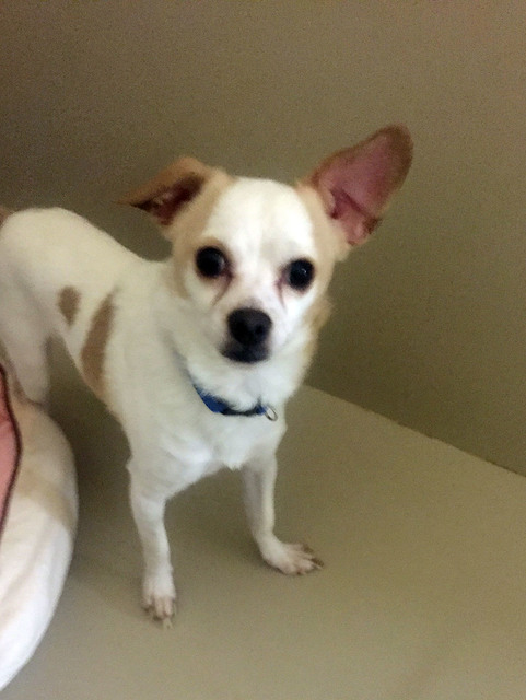 Photo courtesy Boulder City Animal Shelter Dash is an 18-month-old Jack Russell/chihuahua mix. Dash loves children and gets along well with other dogs. He will go to his new home neutered and vacc ...