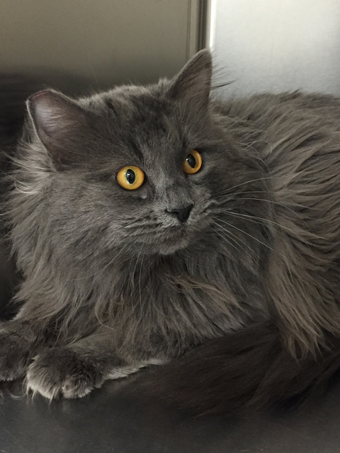 Photo courtesy Boulder City Animal Shelter Nimbus is a 2-year-old large, neutered male cat who is easy going and enjoys the company of other cats. His vaccines are current. For more information on ...