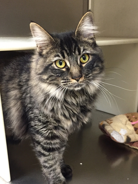 Photo courtesy Boulder City Animal Shelter Mishka is a female Maine Coon mix that was left on the bench outside the animal shelter. She is approximately 5 months old and has been recently spayed.  ...