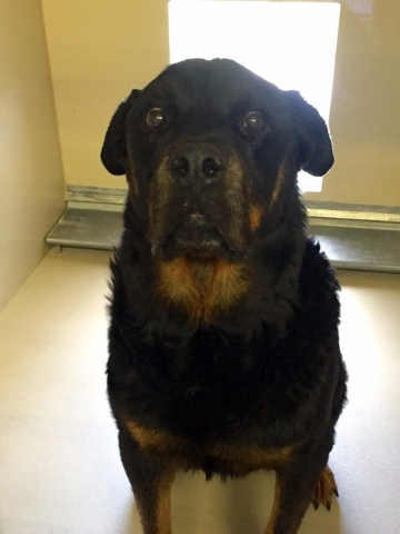 Teddy is a 2-year-old Rottweiler in need of a home where he can be king. He loves humans but isn't fond of other dogs or cats. Teddy is neutered, vaccinated and microchipped. For more informatio ...