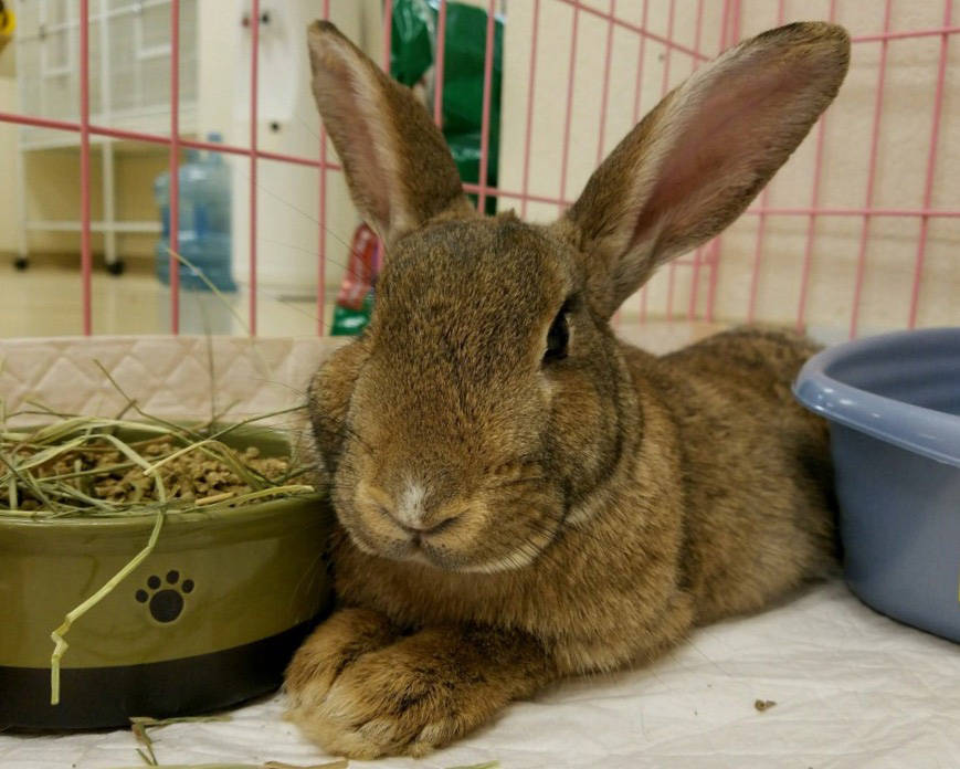 Photo courtesy Boulder City Animal Shelter Bonnie was brought to the shelter as a stray and is now looking for a new home. She is litter box trained and loves to be held. For more information on t ...