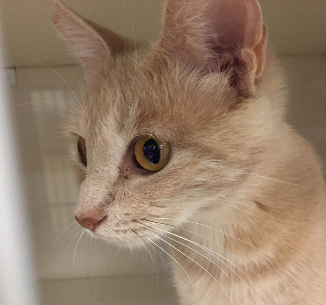 Photo courtesy Boulder City Animal Shelter Adele is a petite young domestic short hair with a bobbed tail. She came to the shelter with a litter of kittens and is now spayed, vaccinated and ready  ...