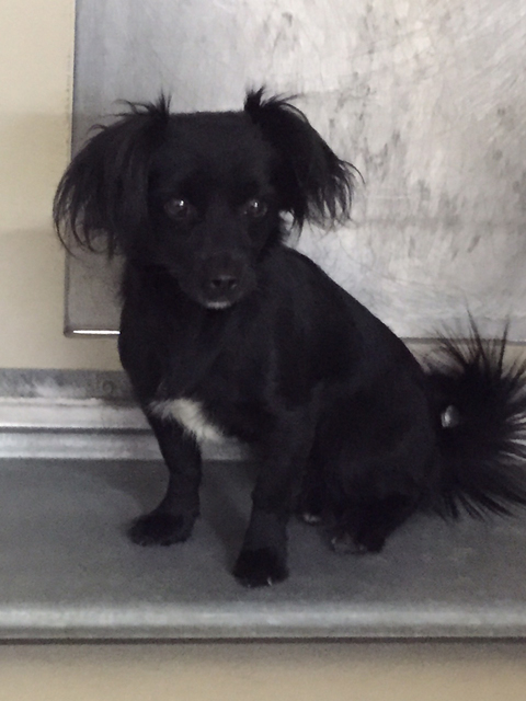 Photo courtesy Boulder City Animal Shelter Shadow is a 1-year-old long-hair Dachshund mix in need of new home. She gets along well with other dogs and loves people. For information on this or any  ...