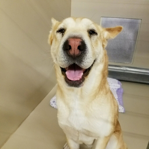 Photo courtesy Boulder City Animal Shelter Big Mama is a yellow Lab/Shar Pei mix in need of a new home. Big Mama loves people and especially children, but doesn't always play well with othe ...