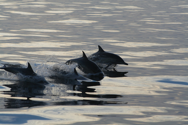 Photo courtesy Deborah Wall From now until March offers the year's best chance to spot gray whales and dolphins off the Southern California coast. Dolphins can often be seen jumping and esp ...