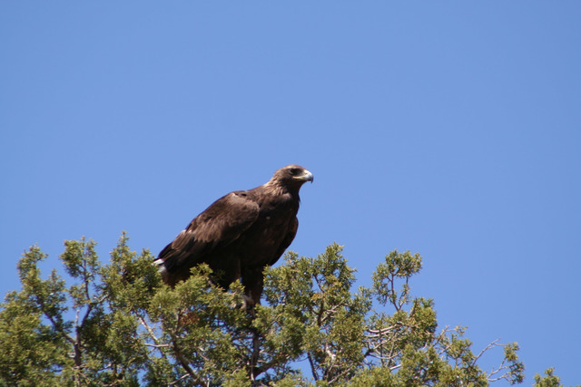 Photo courtesy Deborah Wall  Each winter, from December to May, migrating golden and bald eagles make their home in Verde Canyon, a protected breeding area.
