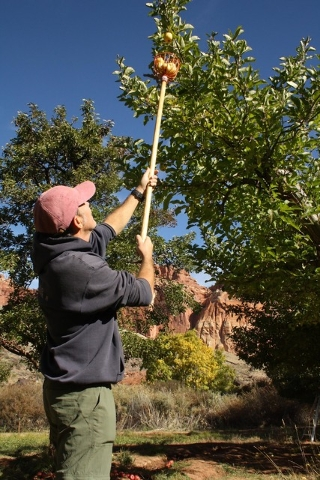 Photo courtesy Deborah Wall Capitol Reef National Park in Utah is home to more than 3,100 fruit trees. The park provides hand-held fruit pickers and ladders to help visitors pick ripe fruit.