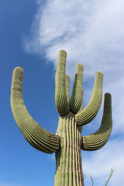 Photo courtesy Deborah Wall Organ Pipe Cactus National Monument in Arizona is home to 28 cactus species including the giant saguaro.