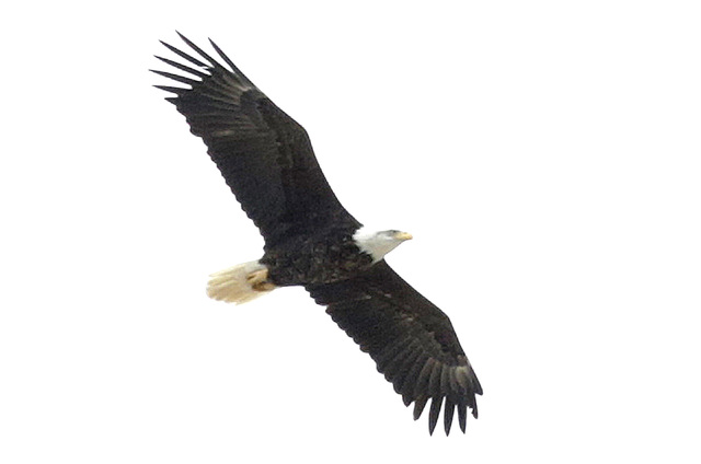 Bizuayehu Tesfaye/Las Vegas Review-Journal @bizutesfaye An adult bald eagle flies overhead at Lake Mead on Jan. 12. A group of biologists and volunteers fanned out across Lake Mead and Lake Mohave ...