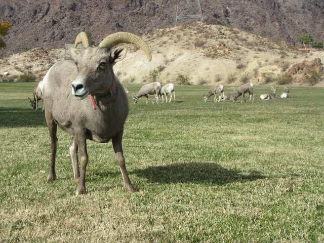 Henry Brean/Las Vegas Review-Journal A bighorn sheep wearing a collar from an earlier capture grazes in Hemenway Valley Park on Dec. 13. According to wildlife officials, the herd showed some impro ...