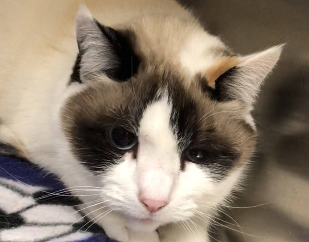 Boulder City Animal Shelter Emma is a sweet 3-year-old female Siamese in need of a forever home. Emma is spayed, vaccinated and litter box trained. For more information, call the Boulder City Anim ...