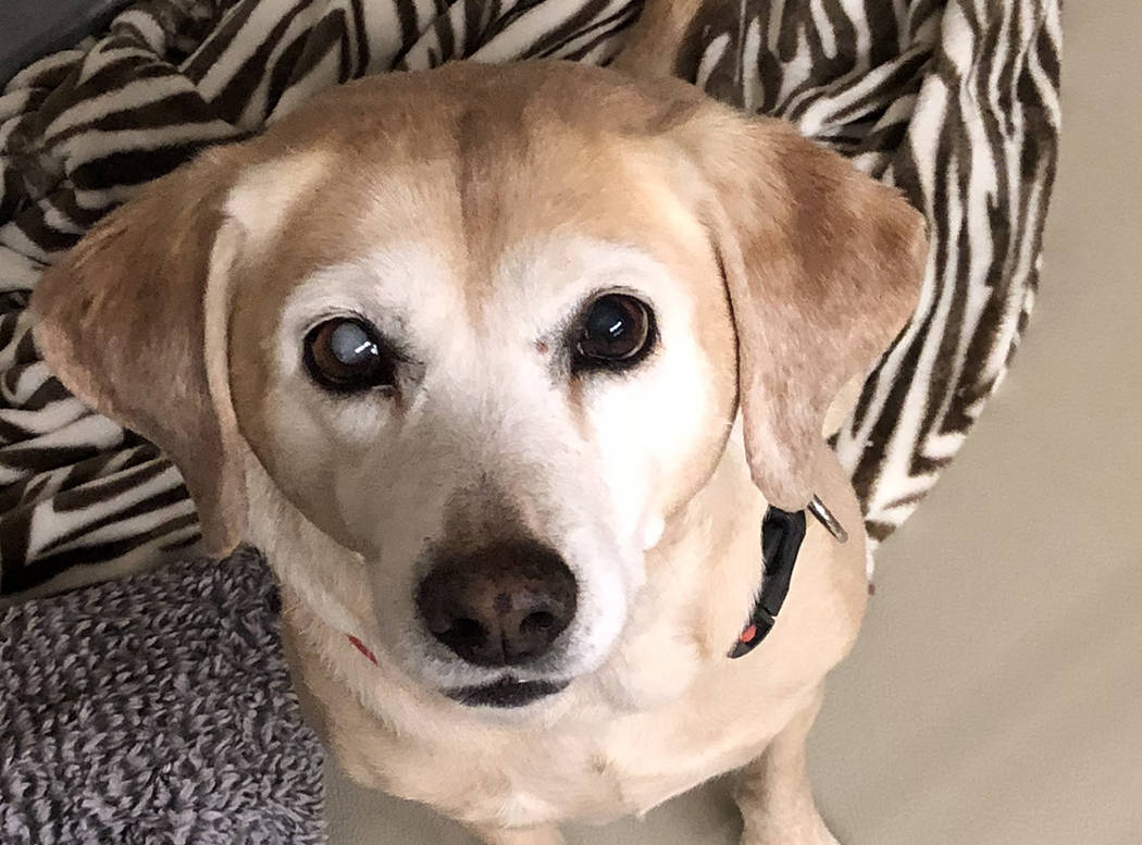 Boulder City Animal Shelter Belle came to the shelter as a stray and was never claimed. She is believed to be a 6-7 years old yellow Labrador mix, spayed and housebroken. Belle loves everything an ...