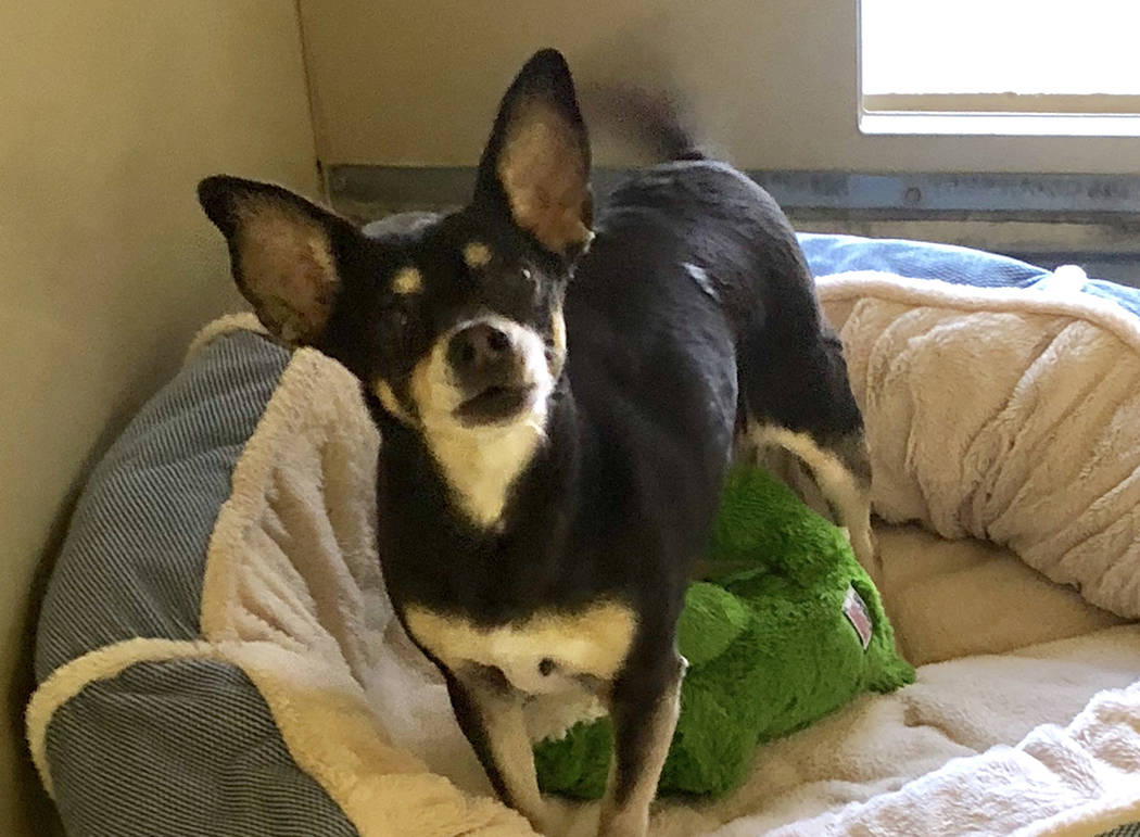 Boulder City Animal Shelter Rosie was abandoned at the shelter and is in need of a forever home. Rosie is 9 years old, housebroken, spayed and vaccinated. For more information, call the Boulder Ci ...