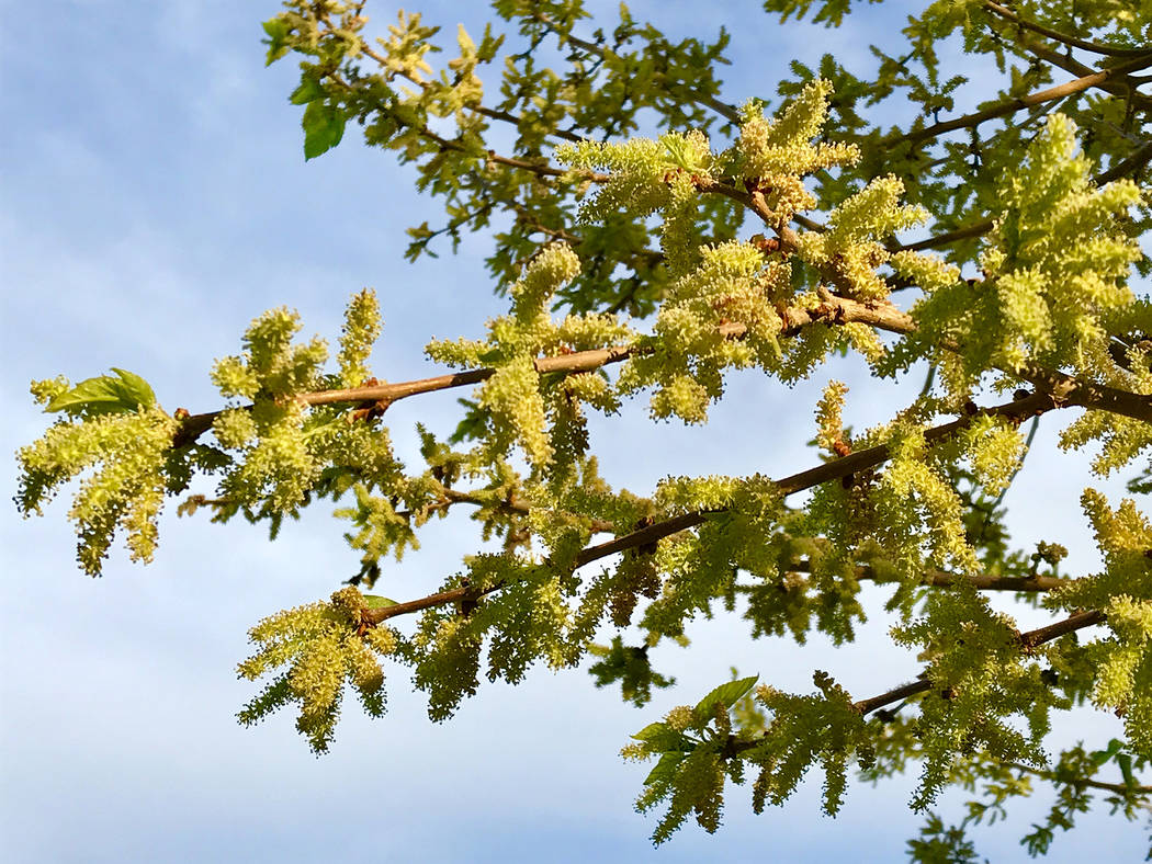 Norma Vally Mullberry trees produce pollen that create breathing problems for those with allergies.